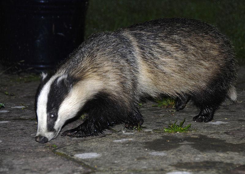 File:Badger 25-07-09 closer.jpg