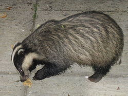 Badger Cornwall 2.jpg