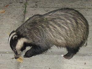 Eurasian badger in Cornwall, UK. Eating a pean...