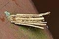 Bagworm Moth (Psychidae) Case - Kitchener, Ontario 03.jpg