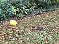 Ballon jaune quelque part à Disneyland Paris en octobre 2017 (pensées pour Coyau).JPG