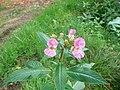 Balsamine de l'Himalaya (Impatiens glandulifera) (5).jpg