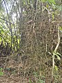 Bambus blumean 160602-58953 ponr.JPG