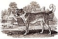Bandog - engraving by Thomas Bewick - 1790.jpg