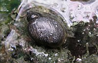Banff snail