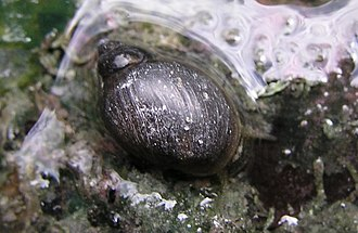 Cave and Basin National Historic Site - Banff snail, approximately 3–5 mm.