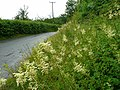 Bank of Meadowsweet - geograph.org.uk - 878007.jpg