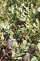 Banksia oreophila - Western Mountain Banksia - Mt Hassell.JPG