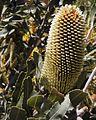 Banksia sceptrum bud Kings Park email.jpg