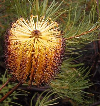Natural landscaping - Banksia spinulosa, a Sydney, Australia local plant which attracts wildlife