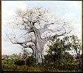 Baobab tree (3948760662).jpg