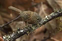 Bar-winged Wren-Babbler - Eaglenest - India FJ0A8141 (33475375613).jpg