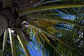 Barbados Palm (6736138097).jpg