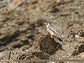 Barbary Falcon (Falco pelegrinoides) (45435381541).jpg