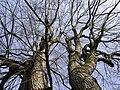 Bare Trees 3.JPG