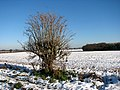 Bare tree beside the footpath - geograph.org.uk - 1630578.jpg