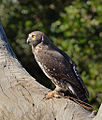 Barking Owl (Ninox connivens) side view.jpg
