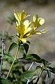 Barleria prionitis.jpg