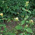 Barleria prionitis (Porcupine flower) in Hyderabad, AP W IMG 9990.jpg