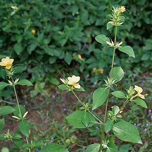 Barleria prionitis - Image: Barleria prionitis (Porcupine flower) in Hyderabad, AP W IMG 9990