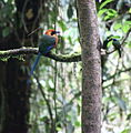 Baryphthengus martii -Costa Rica-8.jpg