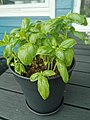 Basil plant in a pot 03.jpg