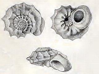 <i>Bathyliotina lamellosa</i> species of mollusc