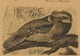 Batrachostomus auritus - 1700-1880 - Print - Iconographia Zoologica - Special Collections University of Amsterdam - UBA01 IZ16700013 (cropped).tif