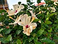 Bee Inside Hibiscus 01.jpg