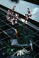 Begonia heraeliafolia WPC.jpg