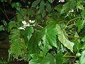 Begonia lacinata v formos mrym01.jpg