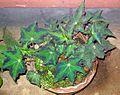 Begonia plant 9.JPG