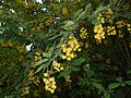 Berberis lycium 2016-05-17 0756.jpg