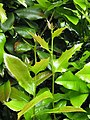 Berberis repens 2010-05-15 03.jpg