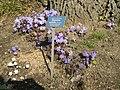 Berne botanic garden Hepatica nobilis.jpg