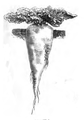 Betterave blanche à sucre impériale Vilmorin-Andrieux 1883.png