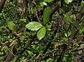 Betula nana a2.jpg