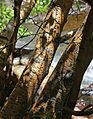 Betula occidentalis water birch bark.jpg