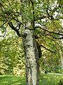 Betula pendula (1).JPG