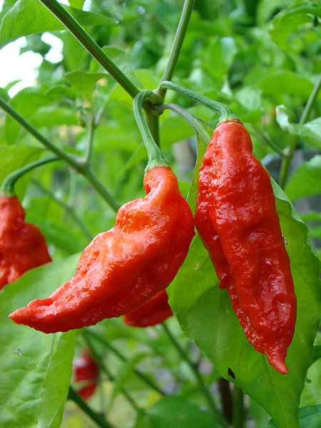 Image Result For Banana Peppers