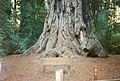 Big Basin Redwoods, California - panoramio.jpg