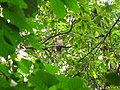 Bird White throated Brown Hornbill Anorrhinus austeni IMG 8142 11.jpg