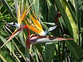 Bird of Paradise at Oakland California Temple (1), Jun 09.jpg
