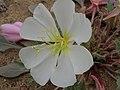 Birdcage evening primrose, Oenothera deltoides ssp. piperi (forma glabrata) (15801661130).jpg