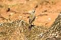 Birds ibira-3.jpg