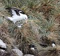 Black-browed Albatross and Rockhopper Penguins (5546040556).jpg