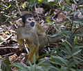 Black-capped squirrel monkey.jpg