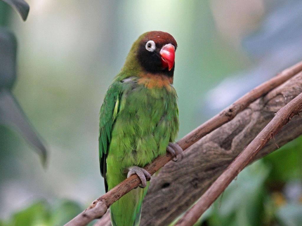 Ta divna stvorenja 1024px-Black-checked_Lovebird_RWD