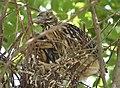 Black-crowned Night-Heron young (48432231087).jpg
