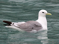 Black-legged Kittiwake RWD2.jpg